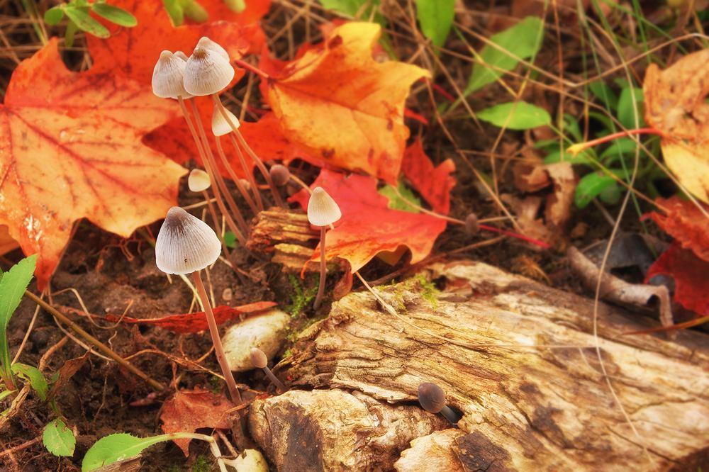 Łysiczka lancetowata należy do grupy grzybów halucynogennych zwanych również halunami, halunkami, psylocybkami czy magicznymi grzybami