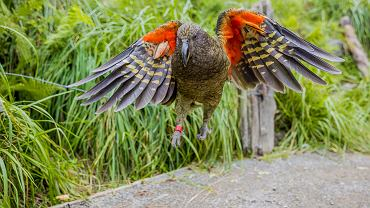 Papuga kea - endemiczny gatunek występujący w Nowej Zelandii