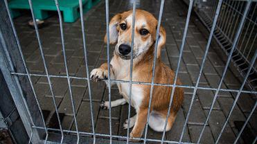 W Miejskim Schronisku dla Bezdomnych Zwierząt w Bielsku-Białej na nowe domu czeka 86 psów
