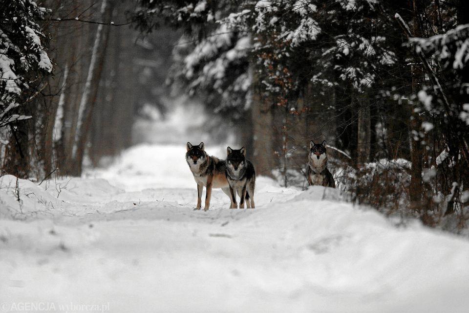 Wilki z Białowieży (zdjęcie ilustracyjne)