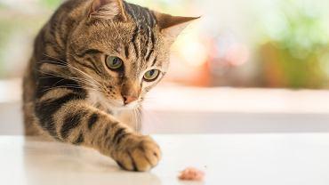 Koty mogą się zarazić COVID-19 i przenosić chorobę na inne koty