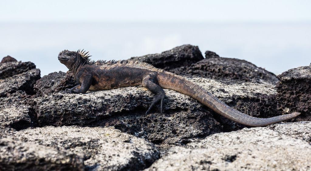 Legwan morski na jednej z wysp archipelagu Galapagos (fot. Diego Delso / Wikimedia.org / CC BY-SA 4.0)