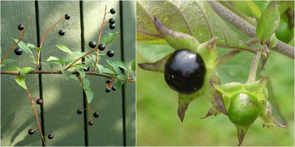 Czeremcha i pokrzyk wilcza jagoda