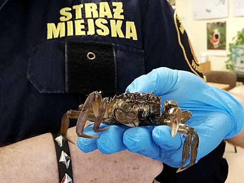 Ekopatrol interweniował w sprawie kraba w łazience