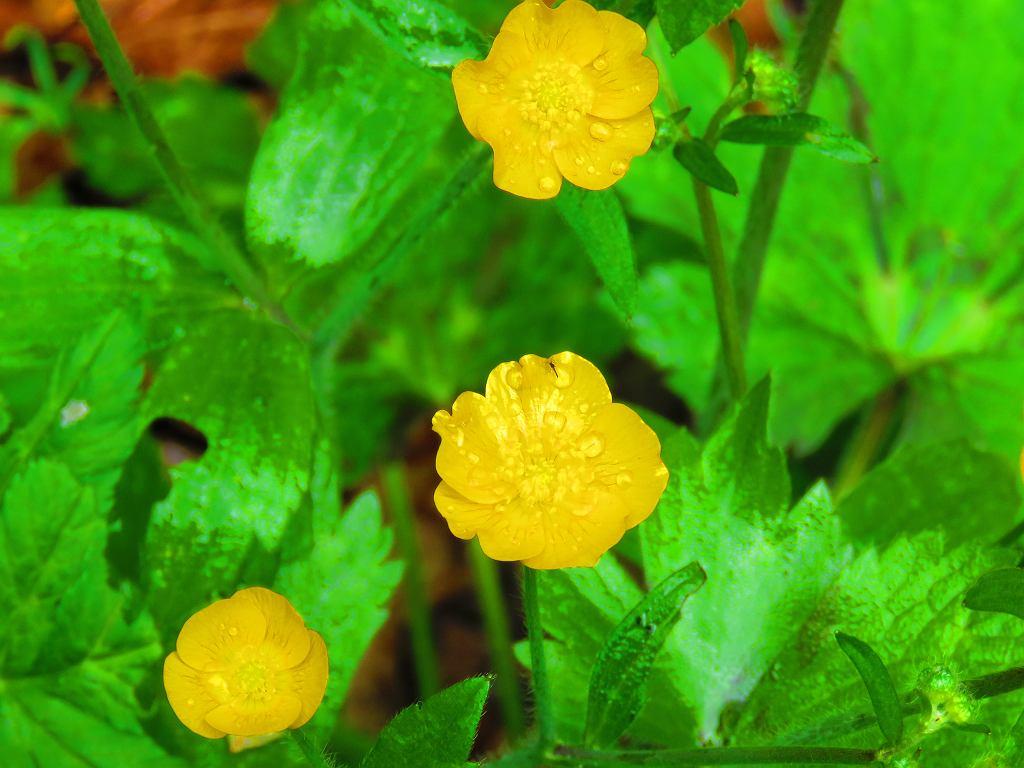Ranunculus sceleratus, jaskier