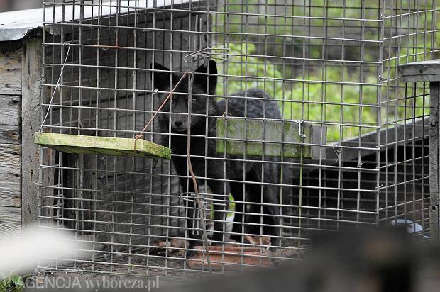 PiS chce zakazu chowu i hodowli zwierząt na futra. Branża ma się czego bać