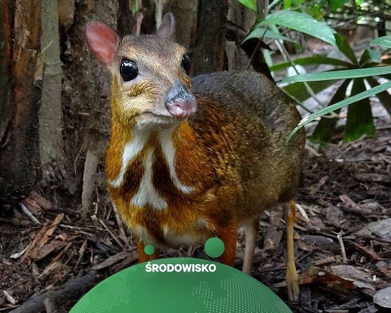 Myszo-jeleń