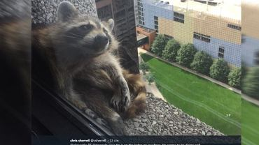 Szop pracz 20 godzin uciekał wspinając się po wieżowcu