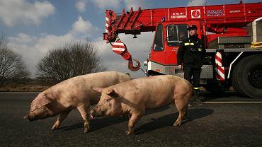 Wierzbica. Na rondzie przewróciła się ciężarówka przewożąca 160 świń (zdjęcie ilustracyjne)