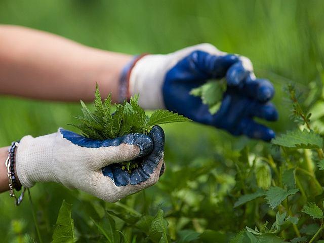 Pokrzywy najlepiej zbierać w rękawiczkach ochronnych, powlekanych gumą po wewnętrznej stronie dłoni.