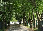 Pogotowie dla drzew. Ponad stuletnia aleja grabów uratowana. Gmina będzie dokładniej sprawdzać wycinki