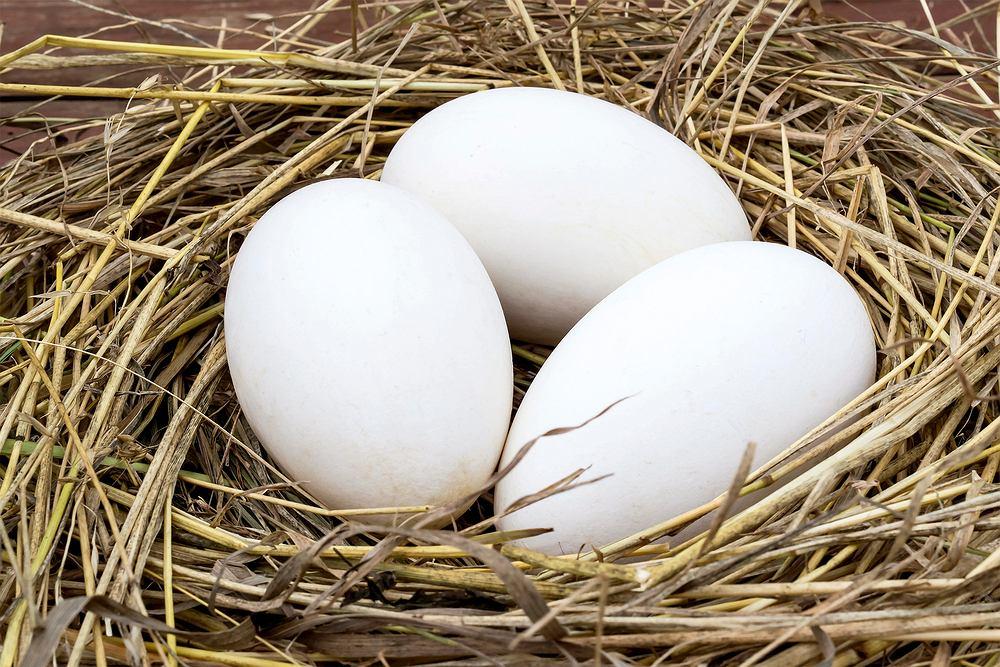 Jaja gęsie charakteryzują się bardzo wyrazistym smakiem i zapachem