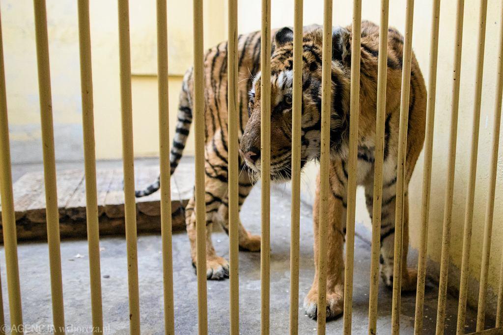Tygrysy zatrzymane na białoruskiej granicy w poznańskim zoo