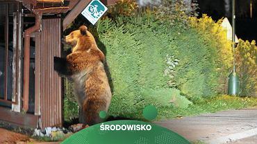 Niedźwiedź w Tatrach (zdjęcie ilustracyjne)
