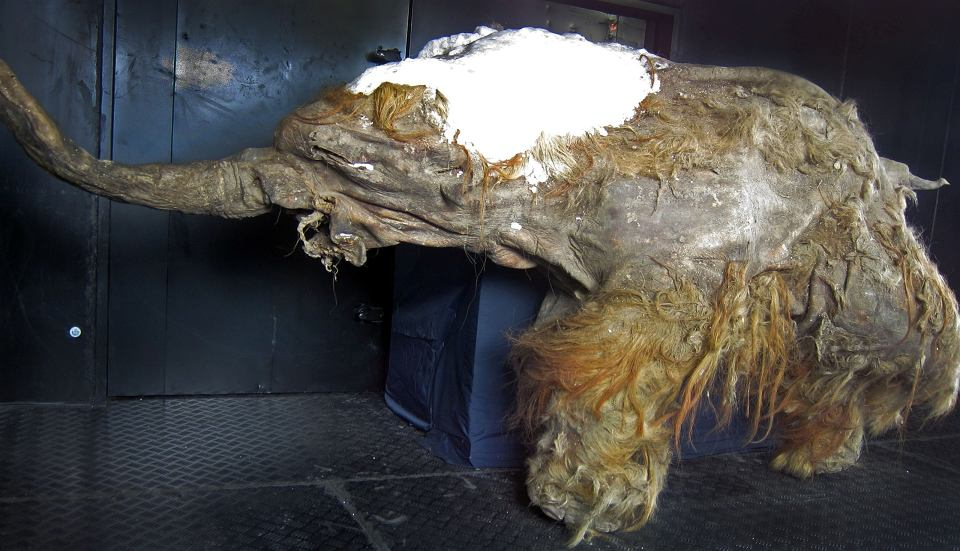 Zmumifikowane szczątki Yuki, mamucicy znalezionej na Syberii w 2010 roku