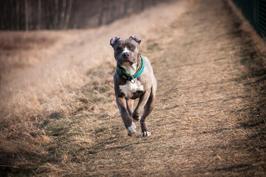 pitbull (zdjęcie ilustracyjne)