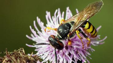 Taszczyn pszczeli pożywiający się nektarem z ostu.