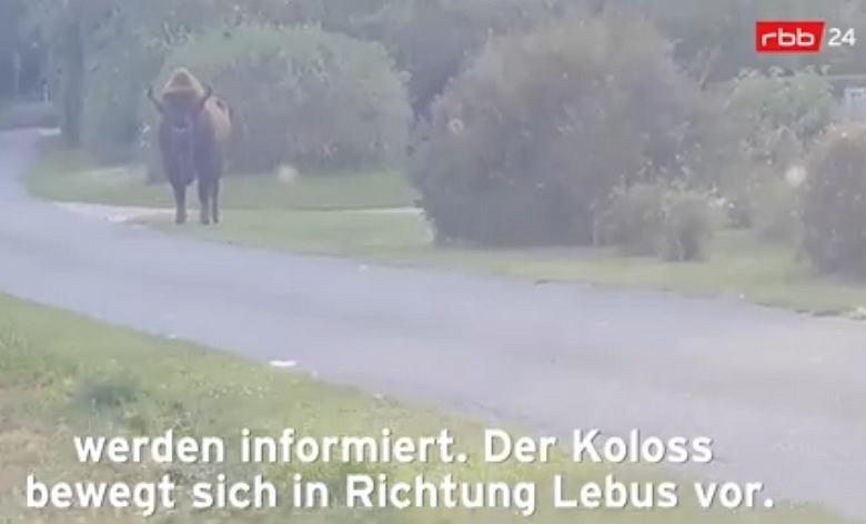 Żubr odstrzelony przez myśliwych w Niemczech