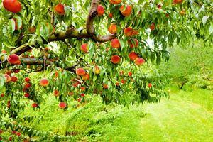 Alejka drzewek w ogrodzie