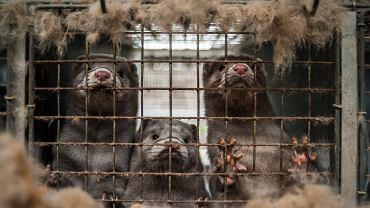 Norki to zwierzęta bardzo inteligentne - wykorzystają każdą sposobność na ucieczkę z klatki.