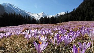 W tym roku krokusy w Tatrach będziemy podziwiać inaczej