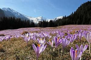 Krokusy co roku przyciągały w Tatry tysiące osób. Park narodowy proponuje, aby tym razem podziwiać je inaczej