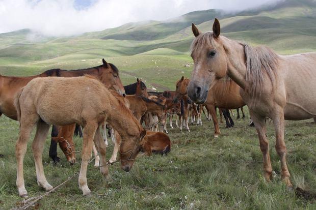 Liczba źrebiąt znaczy o zamożności pasterzy i daje możliwość produkcji kumysu (tradycyjnego napitku wyrabianego ze sfermentowanego kobylego mleka)