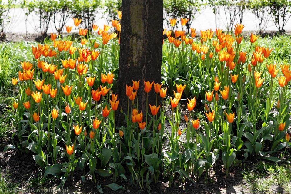 Zdjęcie numer 9 w galerii - Przy betonowej alei kwiatowej  wyrosły kwiaty. Tulipany o niezwykłych barwach