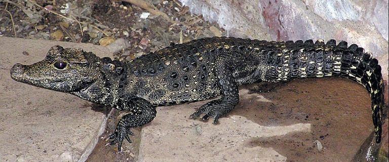 Czechy. Krokodyl Mireczek uciekł z hodowli. Mógł dostać się Odrą do Polski