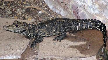 Krokodyl Mirecek uciekł z hodowli w Czechach.