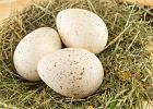 Dlaczego nie jemy indyczych jaj? Wartości odżywcze, witaminy oraz składniki mineralne jaj indyczych