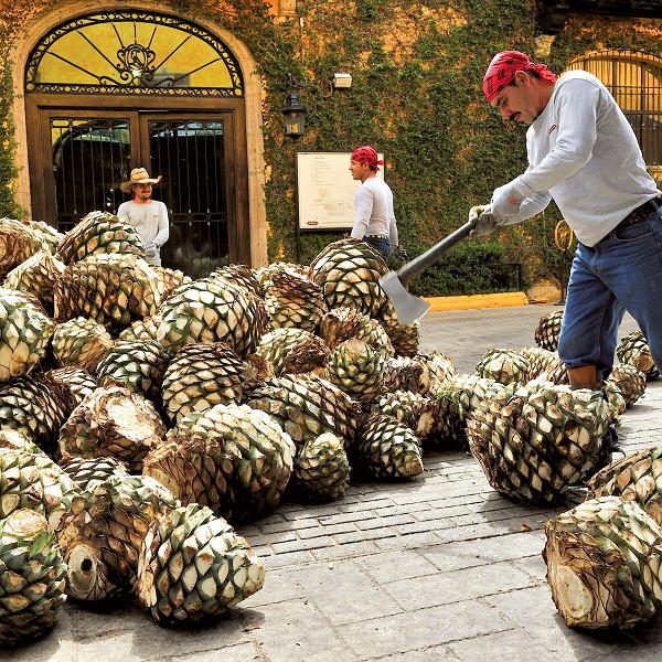 Meksyk, zbiór agawy
