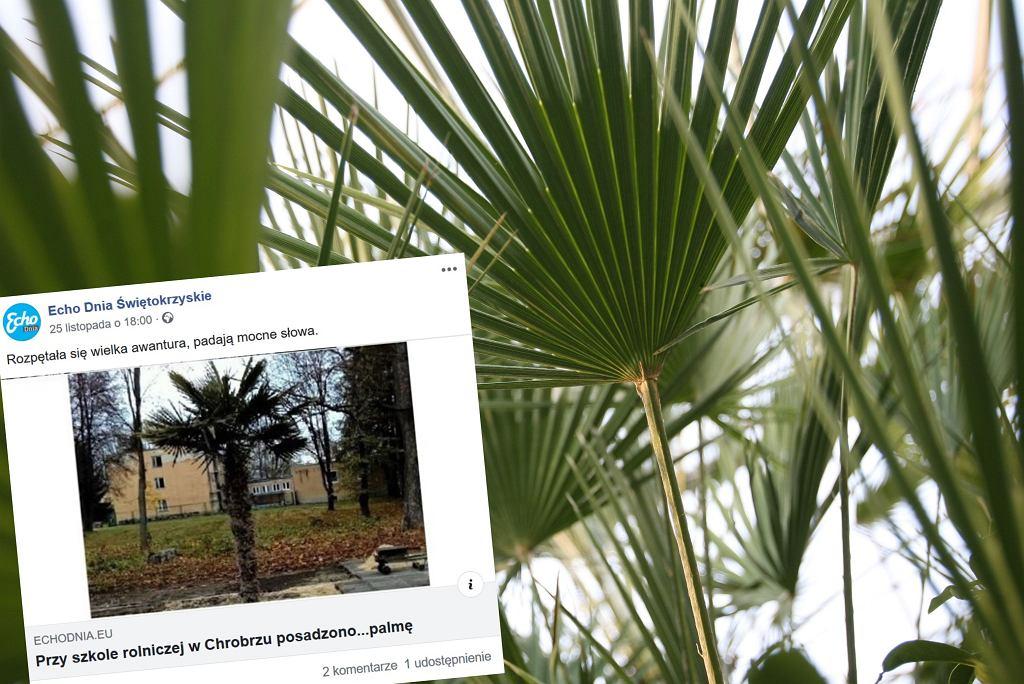 Palma w Chrobrzu (zdjęcie ilustracyjne)
