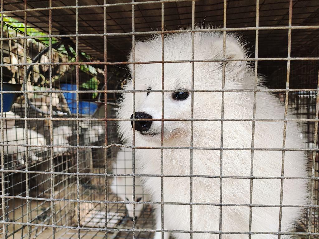 Z hodowli lisów na futra słynie Finlandia.