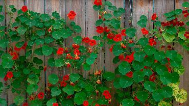 Nasturcje to rośliny jednoroczne w naszym klimacie. Zdjęcie ilustracyjne