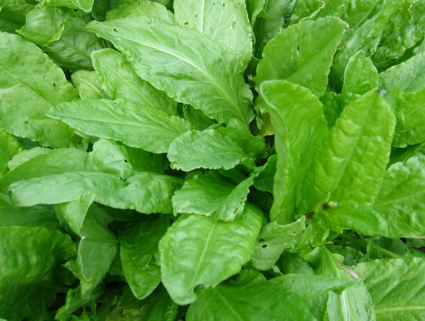 Szczaw zawiera cenne witaminy i substancje odżywcze.