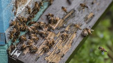 Pszczoły - zdjęcie ilustracyjne