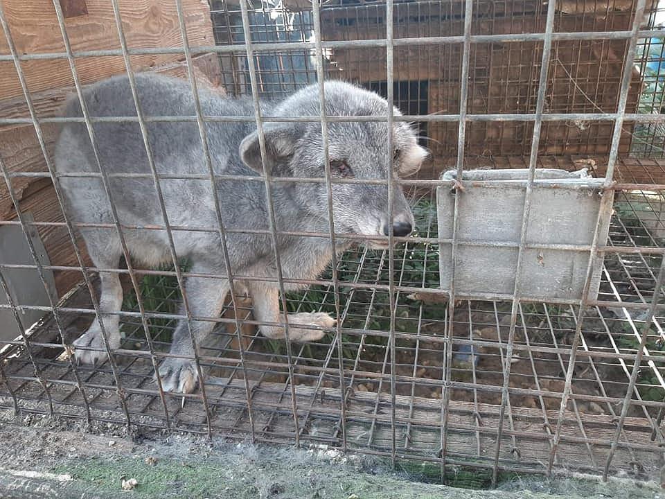 Interwencja poselska Hanny Gill-Piątek na fermie lisów w Szynkielewie