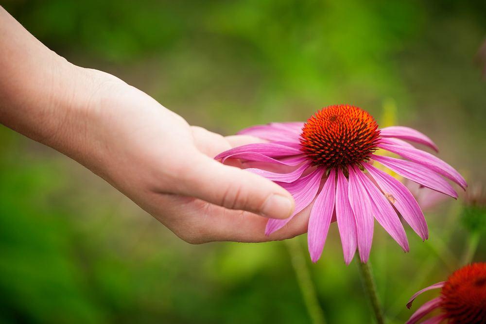 Jeżówka purpurowa. Zdjęcie ilustracyjne