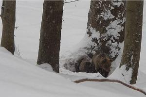 Leśniczy Nóżka pilnuje niedźwiedzi. Dlaczego nie śpią? [WIDEO]