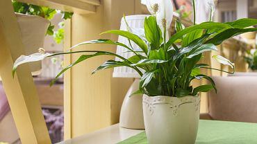 Skrzydłokwiat skutecznie oczyszcza powietrze. Zdjęcie ilustracyjne