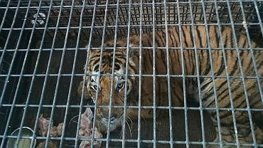 Jeden z tygrysów uwięzionych na polsko-białoruskiej granicy