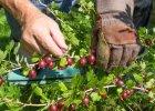 AGREST w lipcu najlepszy. Dlaczego znakomite owoce trafiły do lamusa?