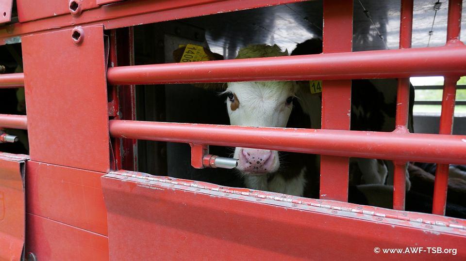 Raport nie pozostawił suchej nitki na transporcie zwierząt - także z Polski