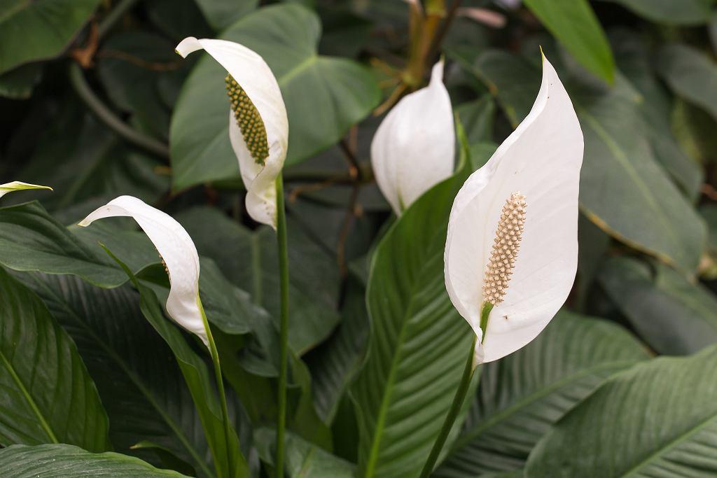 Skrzydłokwiat kwitnie od marca do września. Zdjęcie ilustracyjne