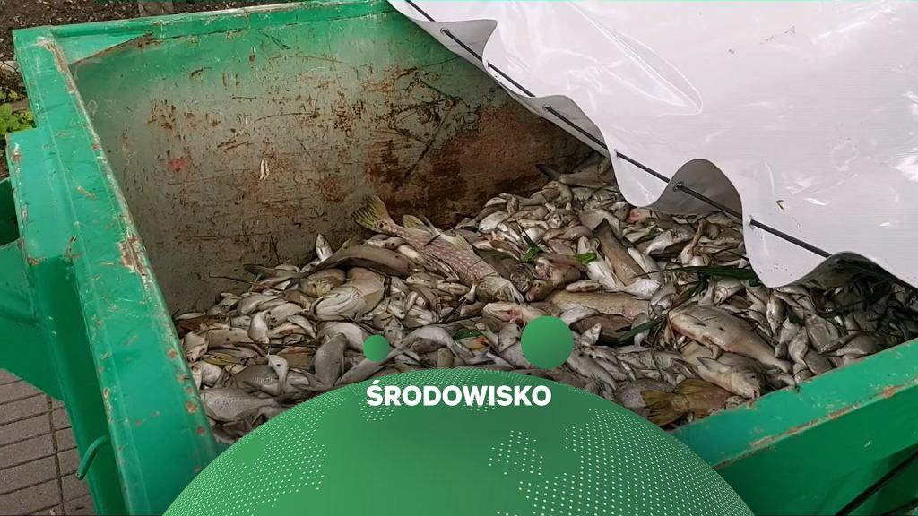 Śnięte ryby w kontenerach z Jeziora Jelonek w Gnieźnie