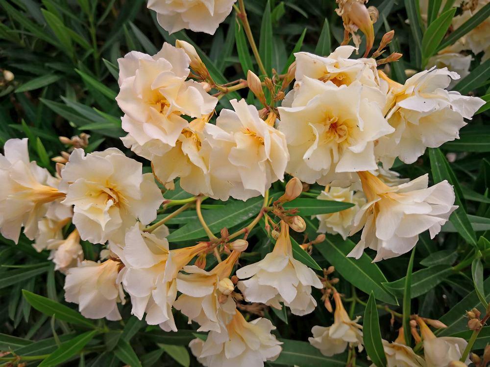 Oleander. Zdjęcie ilustracyjne