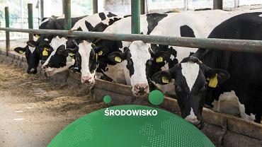 Krowy, zdjęcie ilustracyjne