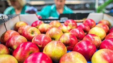 Sortownia i przetwórnia jabłek