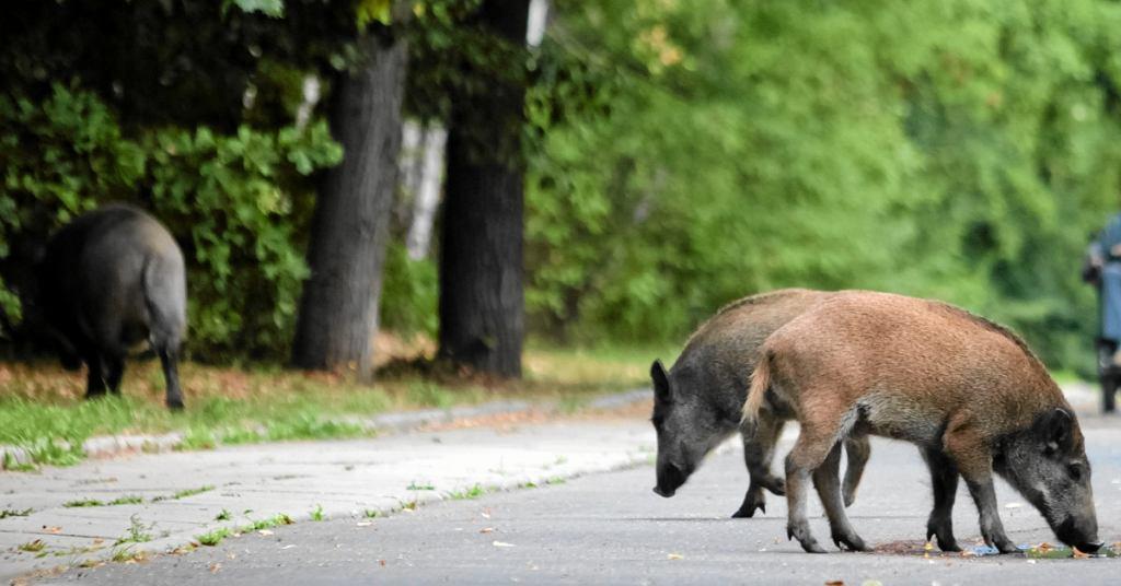 Dziki szukają w miastach pożywienia